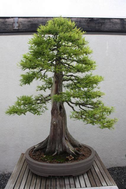 bald cypress  dawn redwood  images redwood