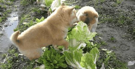 is cabbage for dogs gif find on giphy