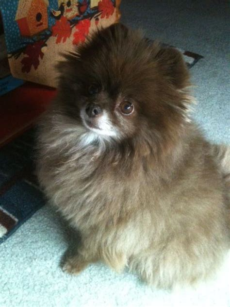 pomeranian rescue sc 346 best images about oh pomeranians to the rescue on cutest dogs