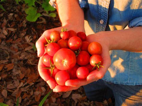 breaking down a tomato 171 four string farm