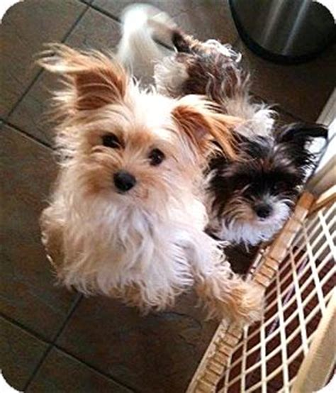 maltese yorkie rescue westport ct maltese yorkie terrier mix meet sonny a for