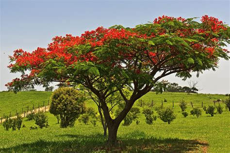 awesome Feng Shui Interior Design #4: brazil--southeast--sp--itu--flamboyant-red-flowering-tree--delonix-regia--farm-in-st--peter-463054841-5a7a02798e1b6e0037418a2d.jpg