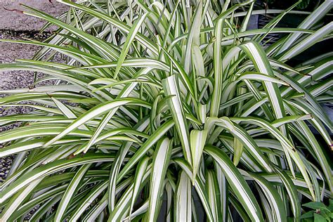 spider plant buy spider plants online free shipping over 99 99