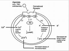Marijuana and Medicine - Chapter 2 - Cannabinoids and ... G Protein Coupled Receptors Adenylyl Cyclase