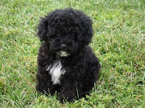 havanese poodle breeders bc black and white poodle mix puppies pictures to pin on pinsdaddy