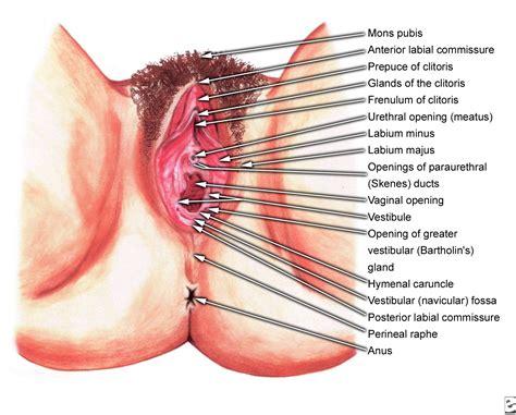 section of vagina the wonderful world of vagina zz insider