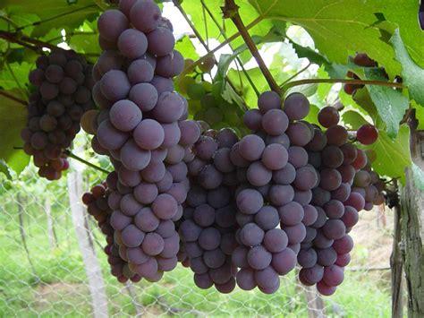 imagenes las uvas calorias da uva tipos por 231 245 es dicas e receitas