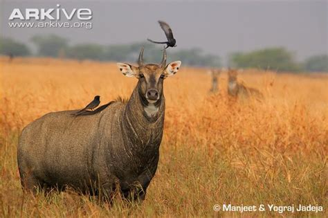 Large Antelope 3 Letters