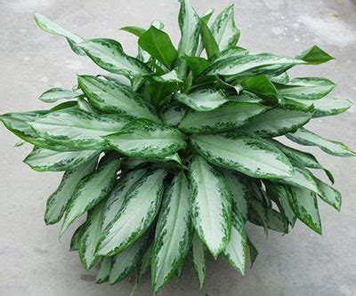chinese evergreens chinese evergreen aglaonema university of florida