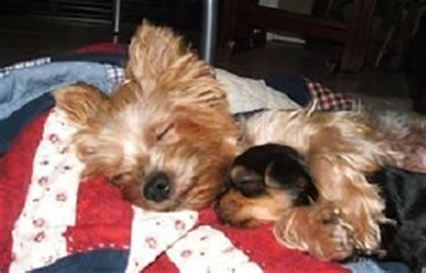 teacup yorkie rescue picture suggestion for rescue teacup yorkies