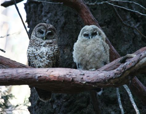 california spotted owl los padres forestwatch