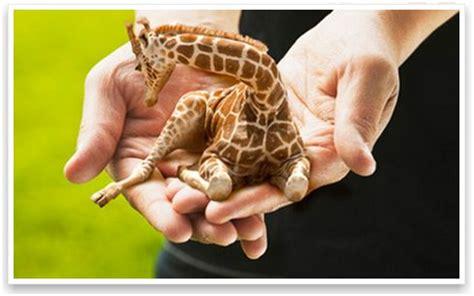 jirafas imagenes lindas blog de la morsa jirafas miniatura