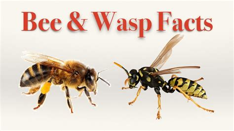 wasp images bee and wasp facts