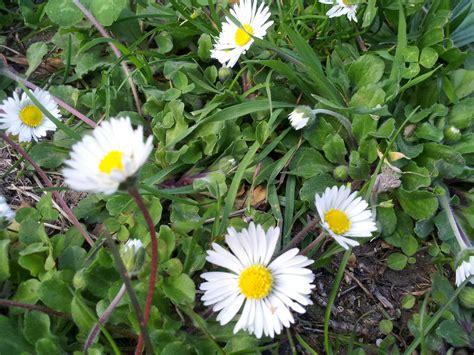 fiori dente di tarassaco gianfranco marangoni