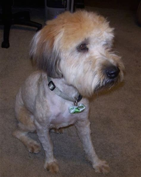 hair styles cuts for wheaten terriers soft coated wheaten terrier dog