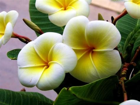 fiori tipici siciliani plumeria the flower of sicily sicily