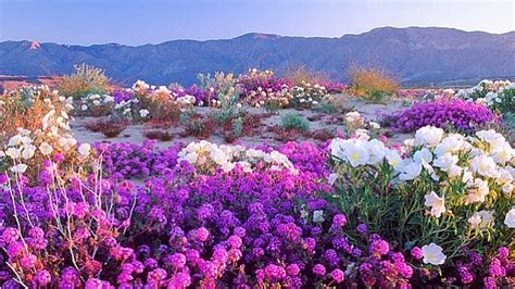 bloom of wildflowers days away in anza borrego desert kpbs