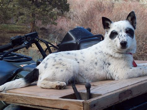 white dogs with blue white blue heeler www imgkid the image kid has it