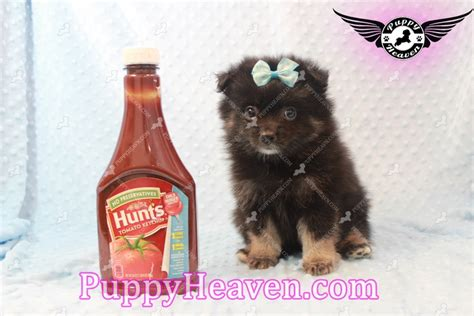 pomeranian for sale in las vegas pomeranian puppy pomeranian puppy for sale in las vegas nv breeds picture