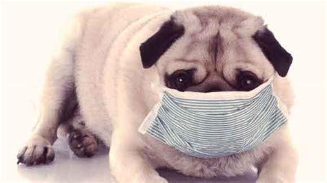 pug ailments diseases and symptoms a to z petcarerx