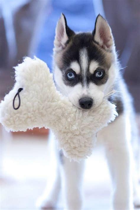 husky puppy toys husky puppy with tooo