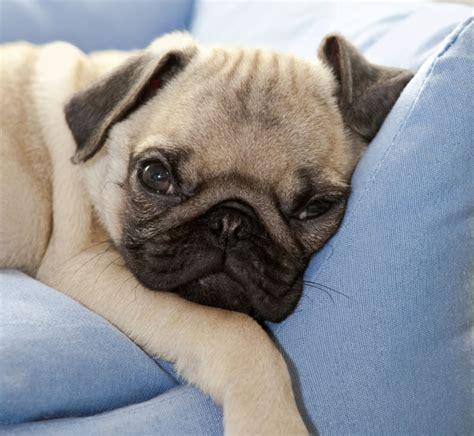 pug on couch cute pug pics