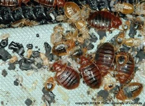 bed bugs entomology