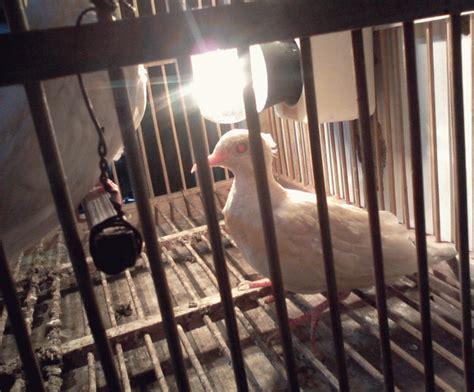 Tempat Makan Burung Perkutut jual kutut cara meng open burung perkutut