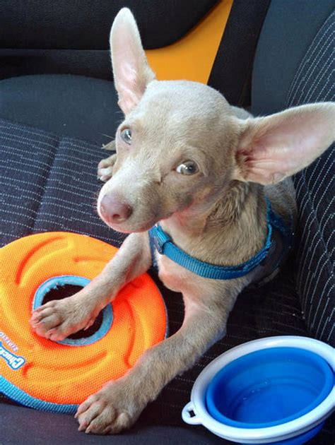 how to a chihuahua to be a therapy stensin the chihuahua dogs daily puppy