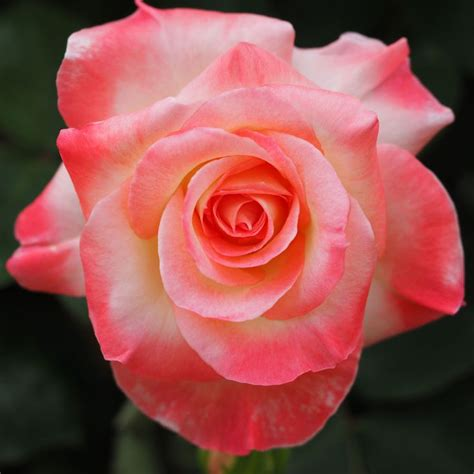 princess diana rose 219 best images about beautiful rose collection on