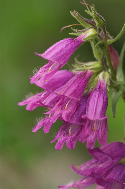 smart tips  prune penstemon plants  enhanced growth
