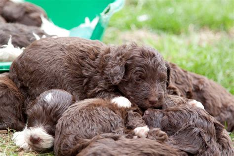 collie doodle puppies for sale border collie x minature poodle collie doodles nantwich