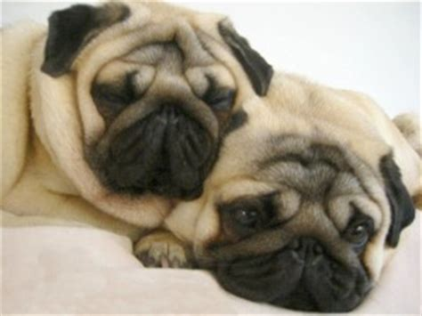 pug how much pugpugpug what is the difference between a pug and a puggle
