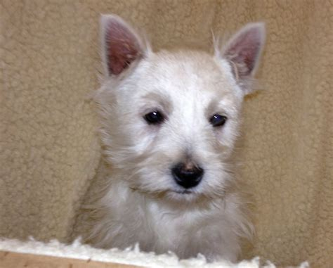 west highland terrier puppies for sale west highland terriers for sale west pets4homes