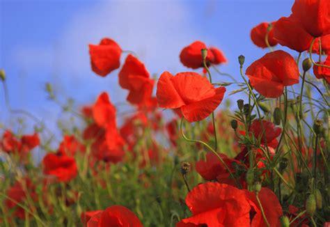 significato fiore papavero scelte per te giardino fiore papavero