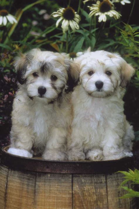 havanese names two havanese dogs photo and wallpaper beautiful two havanese dogs pictures
