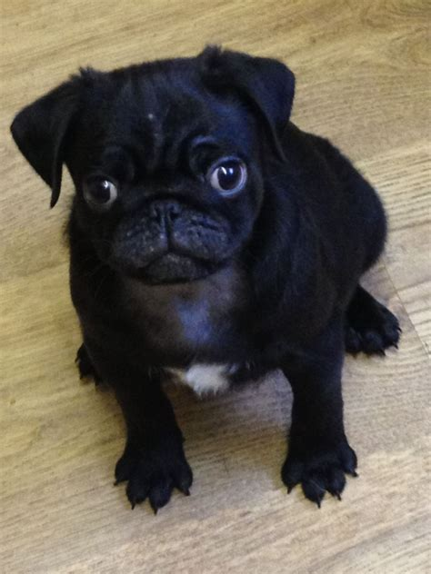 pugs for free uk pug puppies for sale uk breeds picture