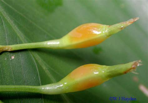 Tepung Pati Garut Arrowroot tanaman kung garut