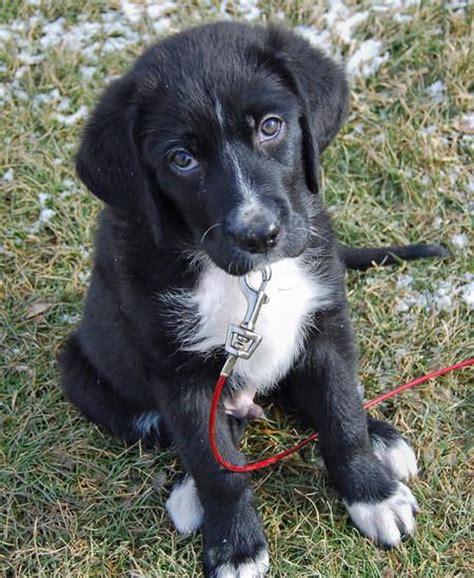 great pyrenees lab mix puppies pyrador great pyrenees black lab mix finn lab mixes pyrenees and