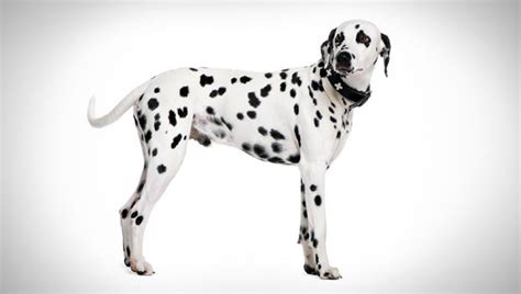why are dalmatians dogs dalmatian breed selector animal planet