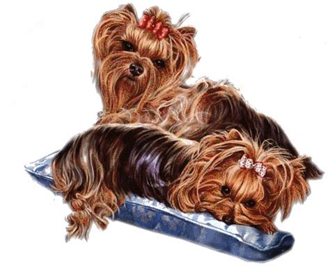 yorkie breeders in mississippi ms yorkies for sale mississippi yorkie breeders ms yorkie puppies for sale