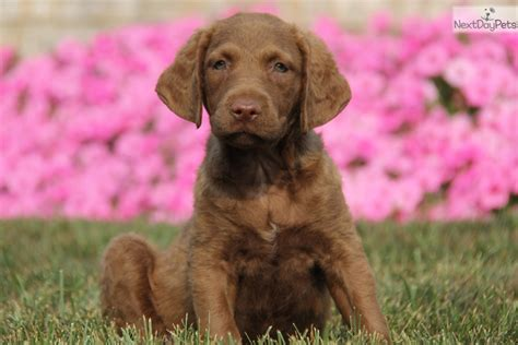 chesapeake puppies for sale chesapeake bay retriever pictures and photos 1 breeds picture