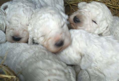 komondor puppies komondor breed information and images k9 research lab