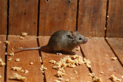 Mouse In The House by Keeping Mice Out Of Your House Extension Daily
