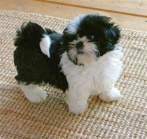 what were shih tzu dogs bred for shih tzu the small companion breed pictures information