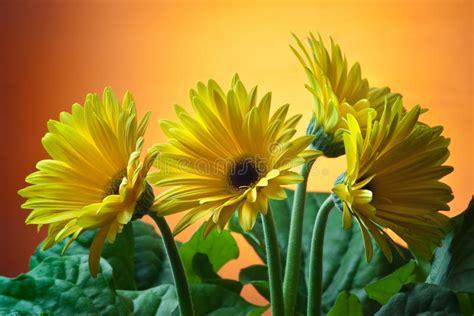 foto fiori gialli fiori gialli fotografia stock immagine di colorful