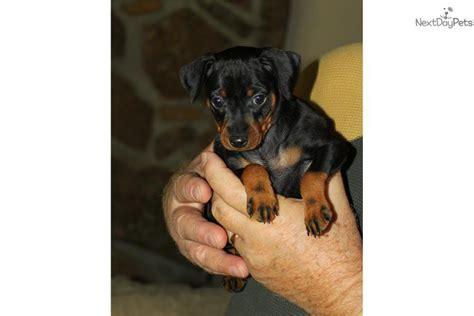 free miniature pinscher puppies miniature pinscher for sale for 500 near knoxville tennessee da4605a2 5a21