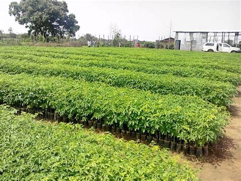 moringa   food global team  local initiatives