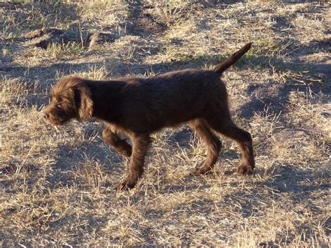 pudelpointer puppies pudelpointer puppies timber pudelpointers