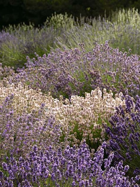 a lavender landscape summer 2007 washington state magazine